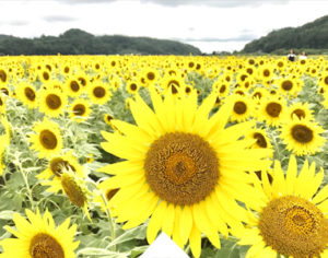Walking among the sunflower festival in Mashiko nearby Tokyo