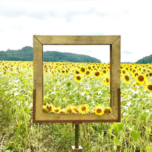 Picture Frame At The Sunflower Festival In Mashiko Nearby Tokyo