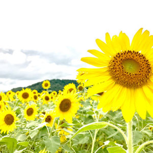 Thousands Of Sunflowers At The Sunflower Festival In Mashiko Nearby Tokyo