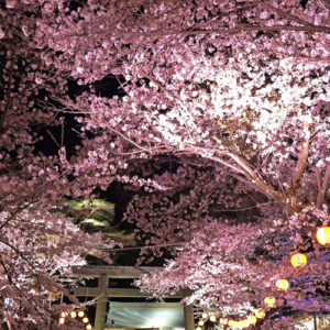 Beautiful Sakura At The Night Cherry Blossom Festival In Kinugawa Onsen Early April