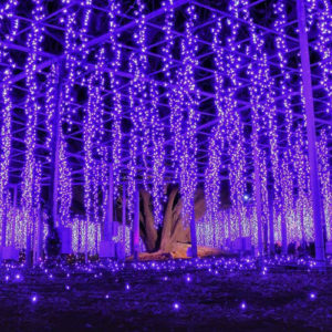 Illuminations Of The Great Wisteria At Ashikaga Flower Park