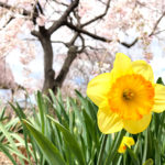 nearby-tokyo-tochigi-city-sakura-A01