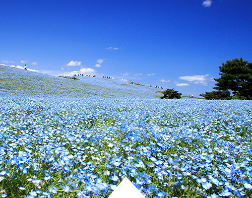 Beautiful contrast of Nemophila flowers and blue sky