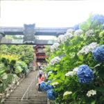 Beautiful Hydrangeas at Ohira Hydrangea Festival (Tochigi Ajisai Matsuri)