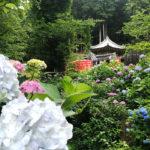 Colorful Hydrangeas at Ohira Hydrangea Festival (Tochigi Ajisai Matsuri)
