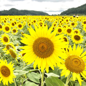 Beautiful Sunflowers At The Sunflower Festival In Mashiko Nearby Tokyo