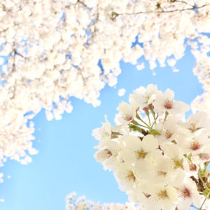 Beautiful sakura seasons - The best places to enjoy sakura