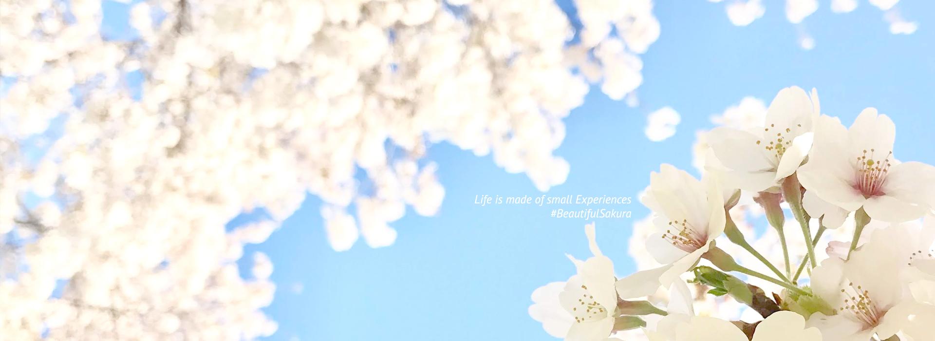 Sakura in Kumagaya - Beautiful seasons near Tokyo