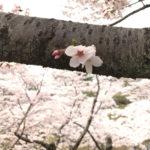 utsunomiya-sakura-hachimanyama-11