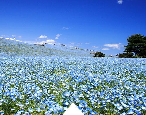 Beautiful contrast of Nemophila flowers and blue sky