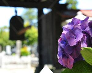 Beautiful hydrangeas at Mito Hydrangea Festival (Mito Ajisai Matsuri)